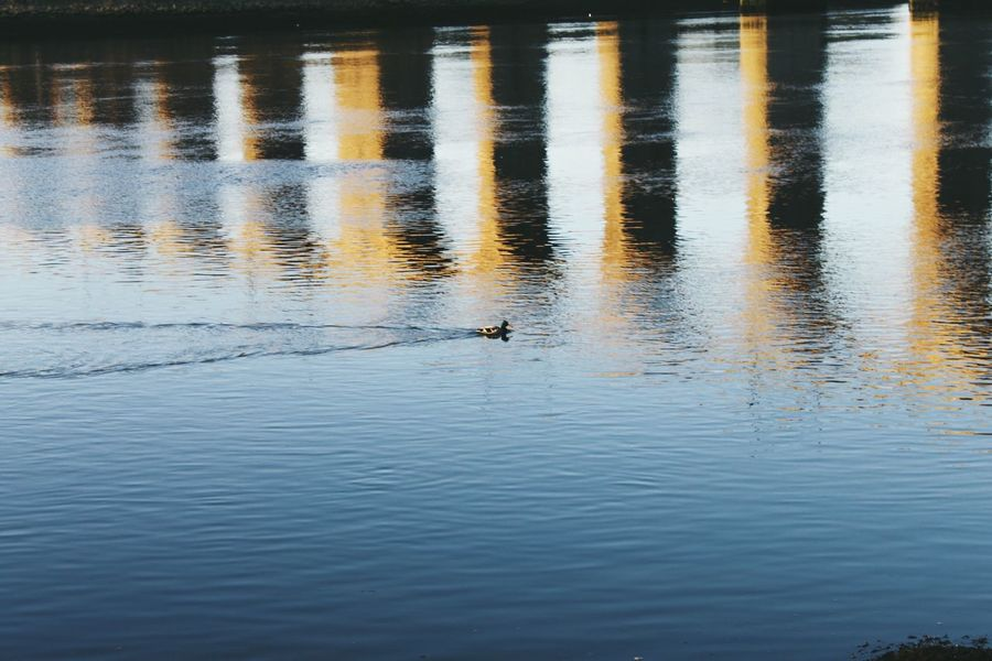 Berwick Upon Tweed. Water Animal Themes Reflection Lake Nature Animals In The Wild Bird One Animal Waterfront No People Outdoors Tranquility Tranquil Scene Swimming Beauty In Nature Scenics Day