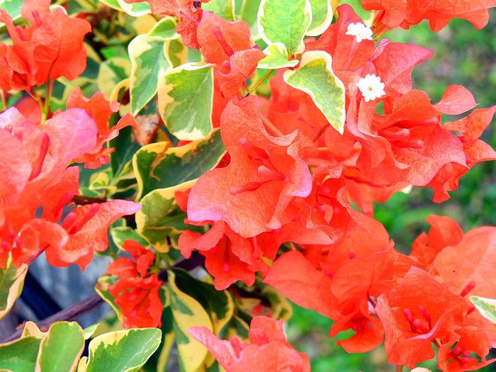 Flowers,Plants & Garden Beauty In Nature Blooming Bougainvillea Bougainvillea Flower Bougainvillea Flower Orange Pink Bougainvillea Red Flower Bougainvilleas Close-up Flower Flower Head Flowers, Nature And Beauty Fragility Freshness Growth Leaf Nature No People Orange Bougainvillea Orange Bougainvillea Flow Outdoors Petal Plant Red Bougainvillea Red Bougainvillea Flower