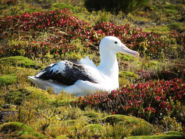 Southern Royal Albatross Sub Antarctics Uncommon  Wildlife Auckland Islands Enderby Island NZ Birds Albatross Southern Royal Albatross Nature Grass Animal Themes Outdoors Beauty In Nature Day Animals In The Wild No People One Animal Bird