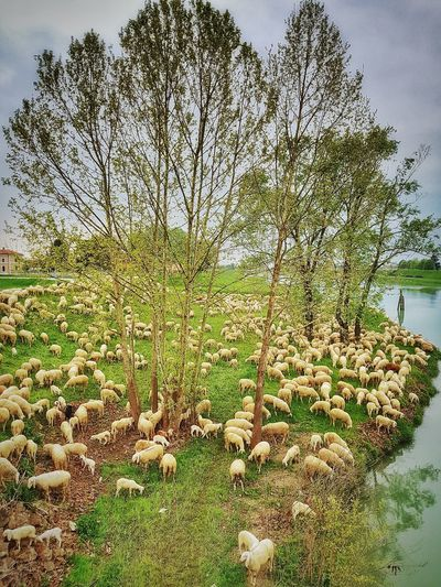 bucholic Sheep Sheeps Sheep🐑 Flock Of Sheep Grazing Grazing Sheep Grazing Animals Riverbank Bucolic Farm Animal Dairy Farm Animal Large Group Of Animals Farm Animal Farm Animals Tree Sky Green Color Plant Tranquil Scene Idyllic Lakeside Non-urban Scene Countryside
