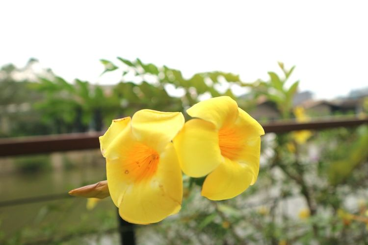 Close-up of yellow flower blooming against sky