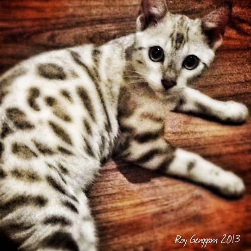 Alba - snow Bengal kitten. IPhoneography Cat Pets Bengal Cat