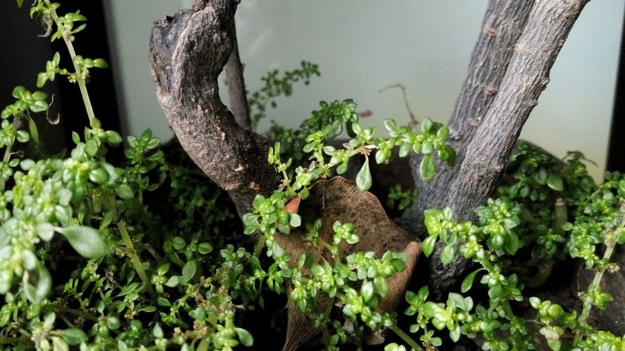 Red Sandalwood Pterocarpus Santalinus Nature Photography Naturephotography