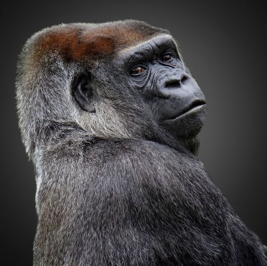 One Animal Portrait Animal Wildlife Mammal Animals In The Wild Looking At Camera Gorilla No People Animal Themes Ape Close-up Nature Outdoors Day