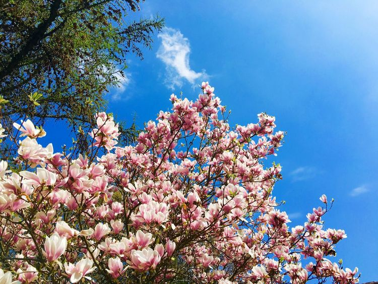 Cherry blossom tree Cherry Blossoms Tree Blue Sky Petals Pink Cherry Blossom Cherry Tree Flower In Bloom Blooming Cherryblossom
