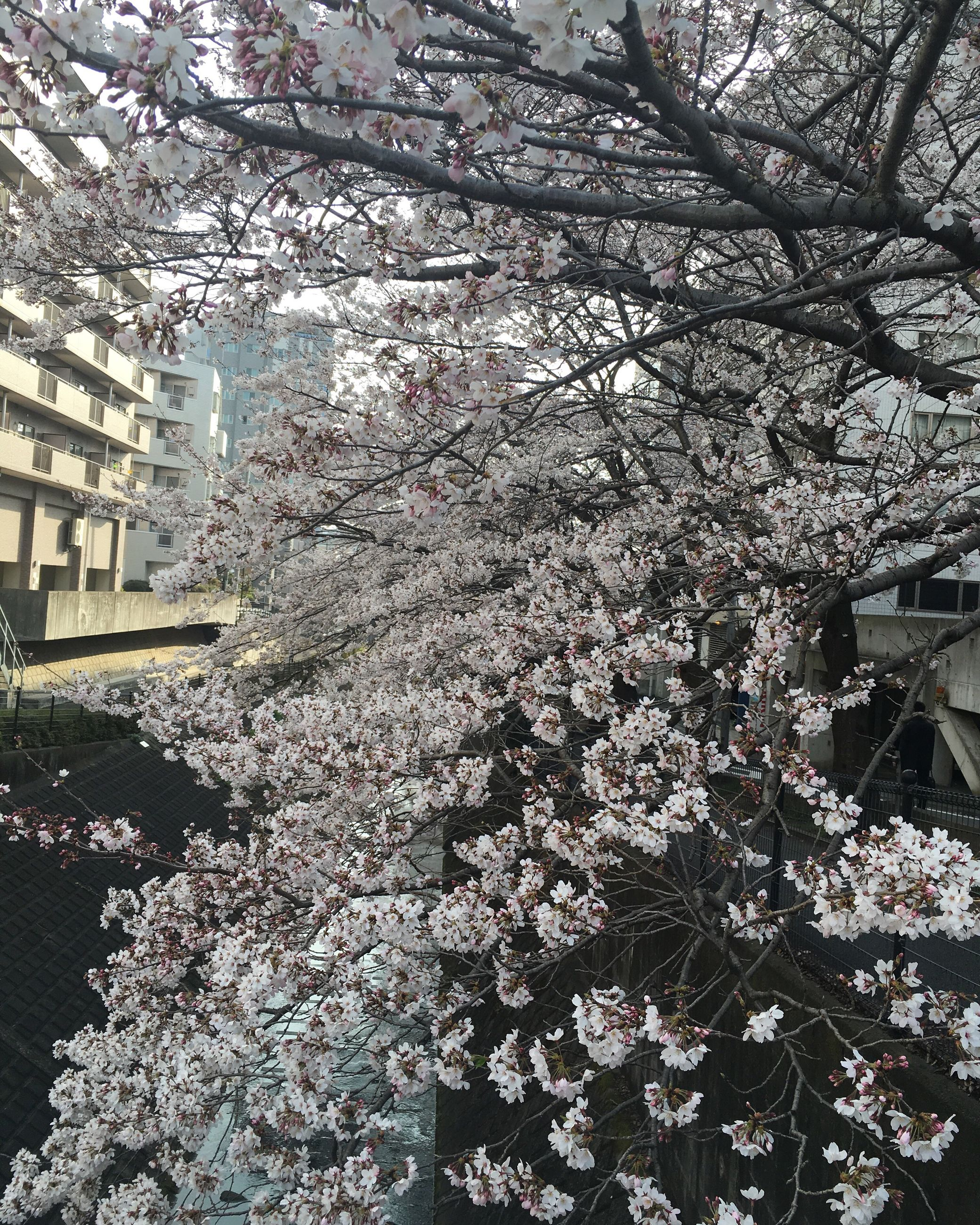 tree, branch, flower, growth, low angle view, cherry blossom, nature, building exterior, cherry tree, blossom, freshness, beauty in nature, built structure, fragility, architecture, season, in bloom, outdoors, blooming, day