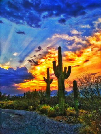 Arizona sunset Cactus Growth Saguaro Cactus Sunset Nature Cloud - Sky Beauty In Nature Sky Dramatic Sky Thorn Uncultivated Outdoors No People Scenics Danger Tranquility Plant Field Flower Day Arizona Tucson Arizona  Fire Skies Colorful Desert Landscape EyeEm Selects EyeEmNewHere Sommergefühle