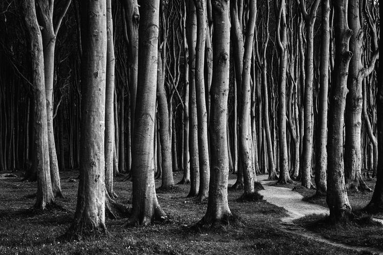 Gespensterwald Nienhagen Gespensterwald Landscape_Collection Trees Beauty In Nature Bnw Darkness And Light Day Forest Growth Landscape Monochrome Nature No People Outdoors Tranquility Tree Tree Trunk Way