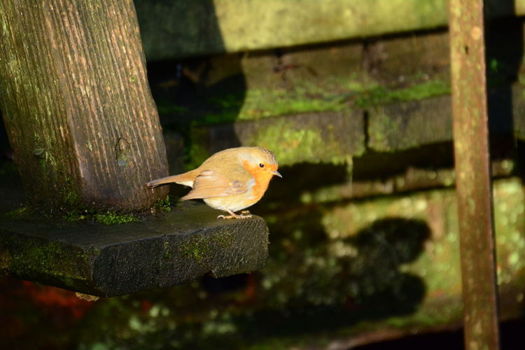 Bird Photography Animal Themes Animal Wildlife Animals In The Wild Bird Birds Shadow Close-up Day Focus On Foreground Nature No People One Animal Outdoors Perching Robin Robin Redbreast