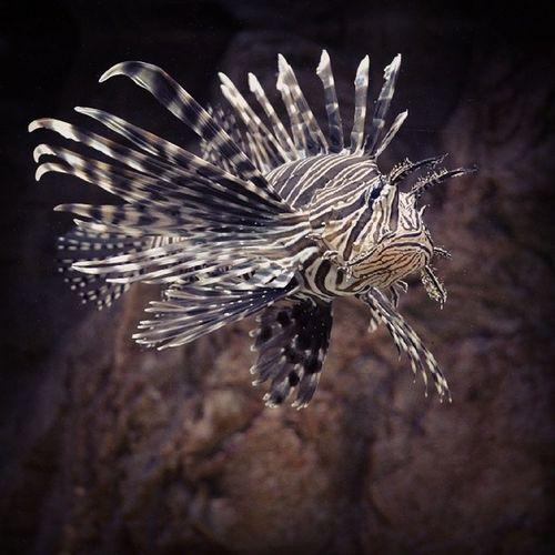 Lion Fish Dangerous Fish Travelingram Backpackermanado kualalumpurtower