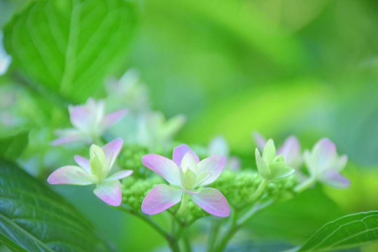 Hydrangea Osaka,Japan Purple Flower あじさい 植物園 Flowers,Plants & Garden