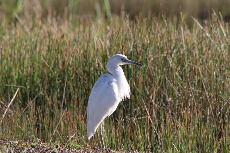 Cattle Egret One Animal Animal Themes Animals In The Wild Bird Heron Grass Nature Animal Wildlife Outdoors No People