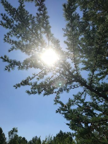 🌞🌞🌞🌞🌞🌞🌞🌞🌞🌞 Tree Plant Low Angle View Sky Sunlight Beauty In Nature Growth Clear Sky Scenics - Nature Blue Sun Day Branch Nature No People Sunbeam Sunny Tranquility Lens Flare Outdoors