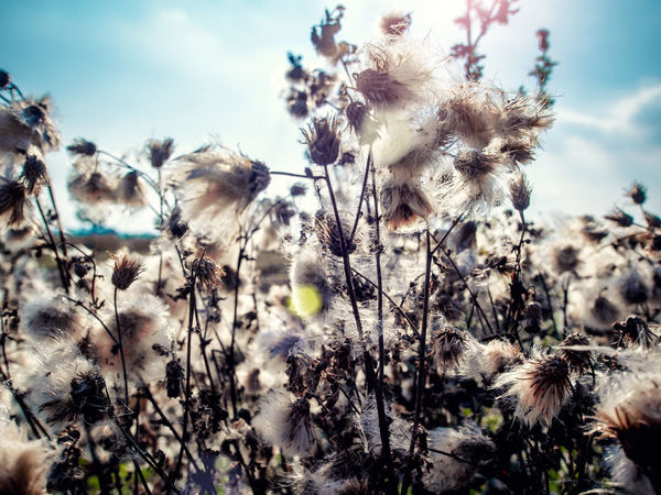 White fluffy great burdock close-up Autumn Field Sunlight Agrimony Arctium Lappa Beauty In Nature Botany Close-up Cloud - Sky Day Dry Plant Faded Great Burdock Meadow No People Nobody Outdoors Plant Prickly Season  Seasonal Sunny Day Uncultivated White Wild