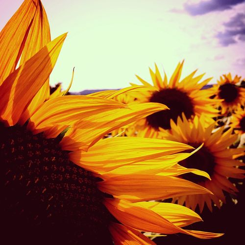 Sunflower Plant Flowering Plant Vulnerability  Fragility Beauty In Nature Flower Growth Freshness Sky Petal Yellow Flower Head Nature Close-up No People Inflorescence Day Sunlight Cloud - Sky