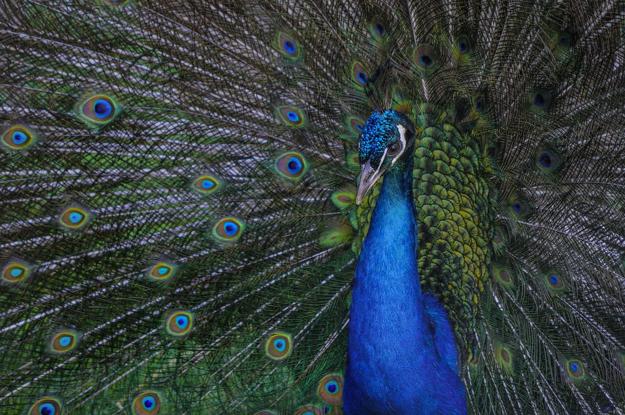peacock, peacock feather, feather, fanned out, one animal, bird, animal themes, animals in the wild, animal wildlife, animal head, beauty in nature, close-up, blue, nature, green color, no people, beauty, beak, multi colored, outdoors, day