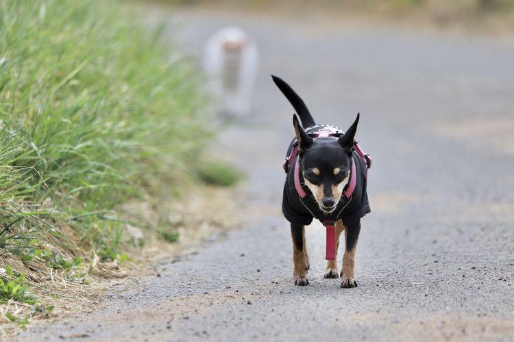 Pincher dog walking on the street