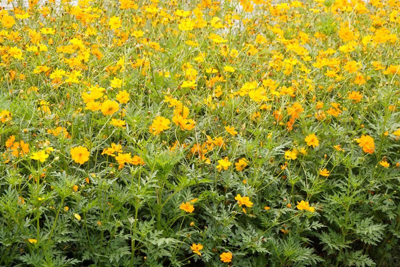 Cosmos Flower Cosmos Sulphureus Green Natural Nature Plant Bloom Blooming Blossom Compositae Flora Floral Flower Foliage Fresh Garden Leaf Leaves Mexican Aster Outdoors