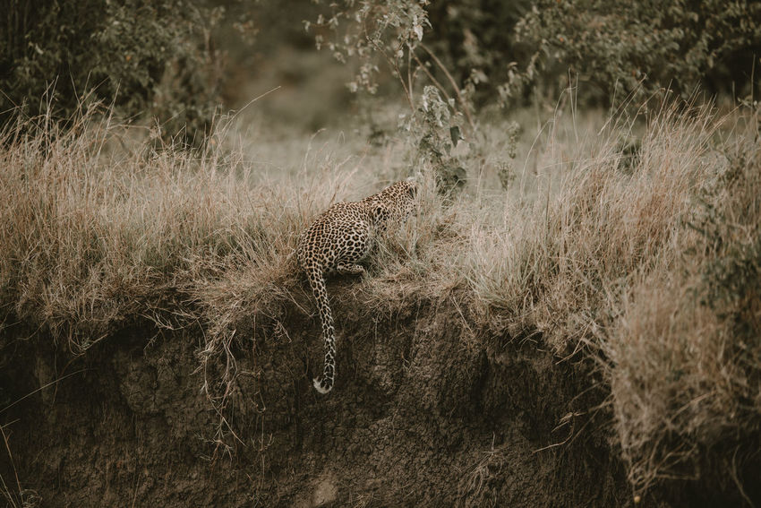 Africa Animal Themes Animals In The Wild Grass Hunt Kenya Leopard Mammal Mammals Masai Mara Nature No People Outdoors Safari Safari Animals Spots Stalk Wildlife