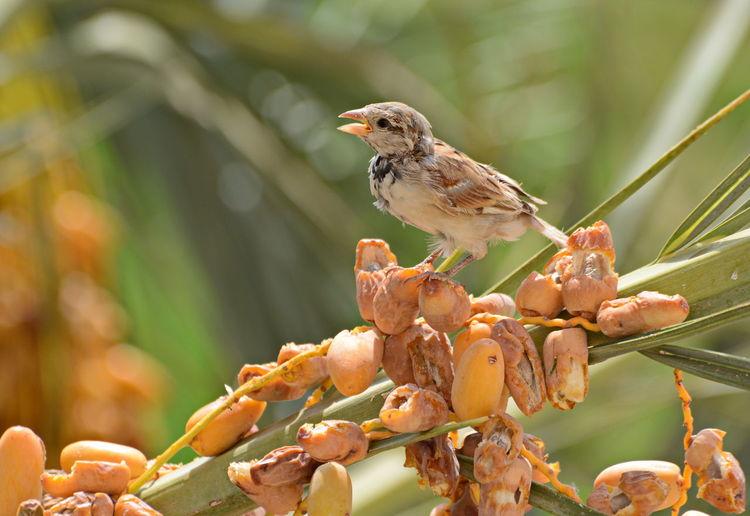 sparrow Palm