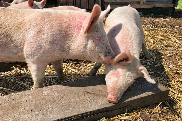 Cuddling Pigs Kissing Pigs Pigs Urban Farm Animal Love Real People Nature Day