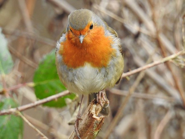 Robin Close Encounter of a Feathery Kind Bird One Animal Robin Animal Themes Focus On Foreground Animals In The Wild Close-up Animal Wildlife Day Outdoors Perching No People Not Cropped