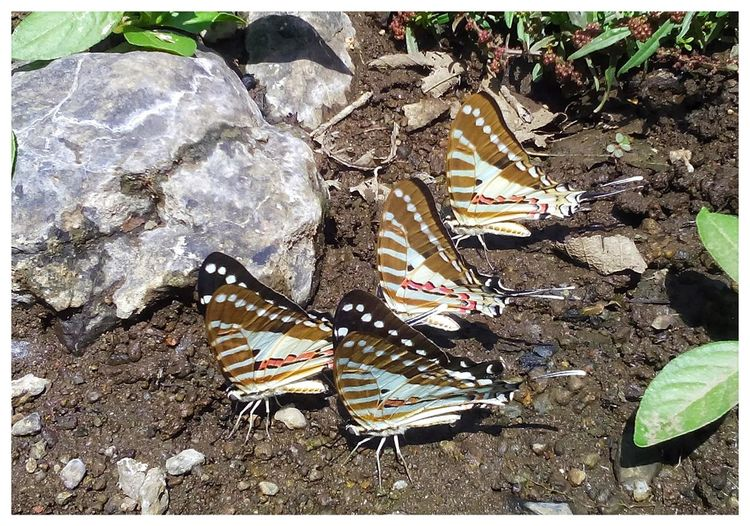 Mud pudlling...Butterfly ( Spot swordtail) No People Close-up Outdoors Day Butterfly Butterfly - Insect Butterfly ❤ 3XSPhotographyUnity Nature Beauty In Nature Animals In The Wild Muddin Puddling