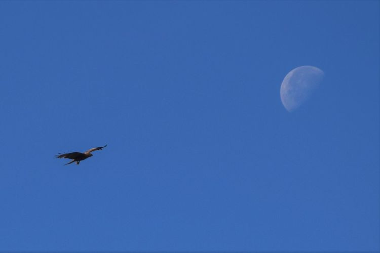 Animal Themes Animal Wildlife Animals In The Wild Bird Blue Clear Sky Copy Space Flying Low Angle View Mid-air Moon Nature No People One Animal Spread Wings