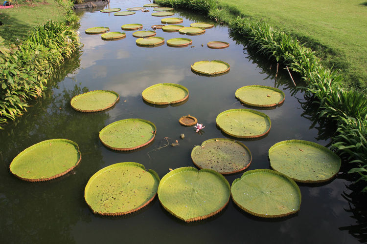 High angle view of lotus water lily in pond