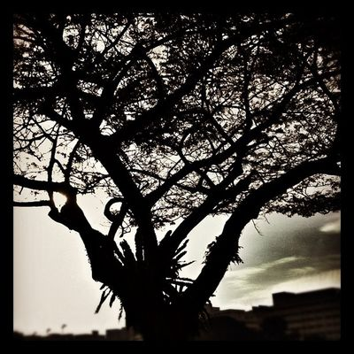 Good Evening Iggers - love d silhouette of this tree Insta Instasg Instagsg instagood instagram instamood instadaily instagramsg instagramhub