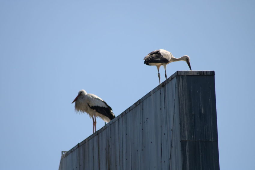 Clear Sky Animal Themes Animal Wildlife Animals In The Wild Bird Clear Sky Day Low Angle View Nature No People Outdoors Sky Stork Storks White Stork Young Stork