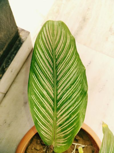 A leaf of an indoor plant Leaf Nature Green Color Growth Plant No People Freshness Beauty In Nature Perspectives On Nature Daytime Photography Pattern Colorful Eye4photography  EyeEmNewHere Newoneyeem EyeEm Selects Photo Taken From Smartphone Camera Nubiaz11minis