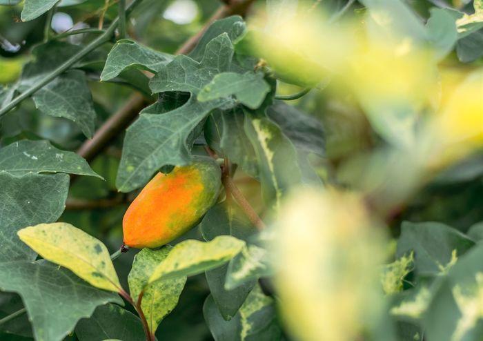 Closeup Ivy gourd (Coccinia grandis) orange fruit in garden Coccinia Grandis Ivy Gourd Orange Agriculture Backgrounds Close-up Food Freshness Fruit Garden Growth Leaf Nature Orange Color Outdoors Park Plant Plant Part Tree Wallpaper