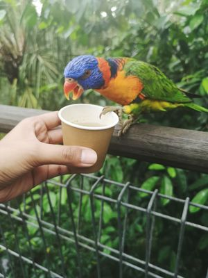 Bird feeding Hungry Animal Angry Bird Animal Eating Nectar Bird Park Jurong Bird Park Young Bird Animal Cute Animal Animal Feeding Colorful Colorful Bird Colorful Animal EyeEm Selects Human Hand Rainbow Lorikeet Parrot Perching Bird Multi Colored Holding Close-up