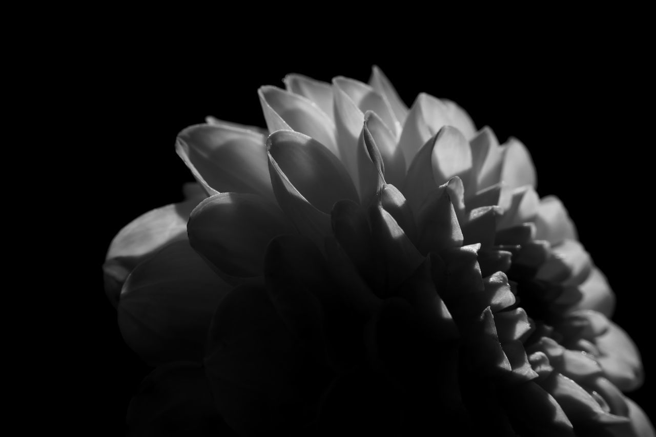 flower, petal, fragility, flower head, beauty in nature, freshness, nature, black background, growth, studio shot, close-up, blooming, outdoors, no people, day