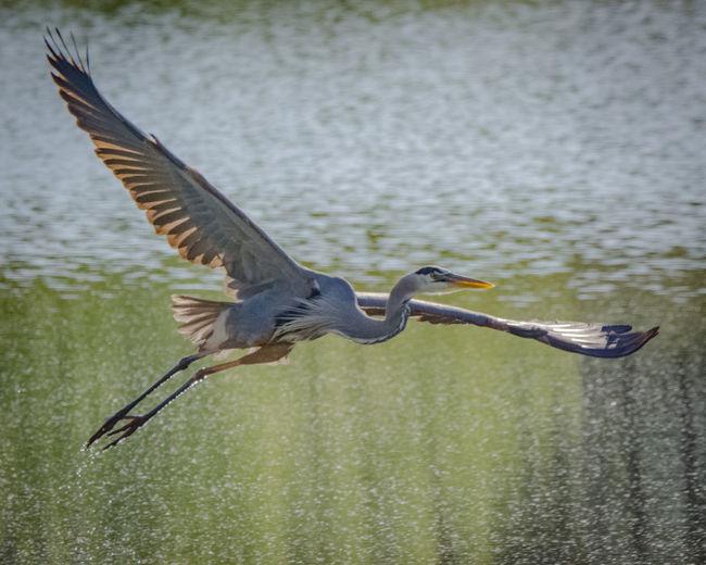 Heron in flight Great Blue Heron Wetland Bird Water Spread Wings Full Length Flying