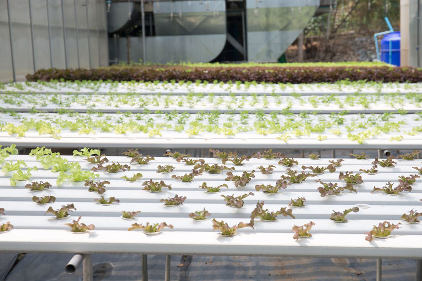 Vegetables Close-up Day Freshness Greenhouse Hydroponic Vegetables Nature No People Plant Plant Nursery Vegetable