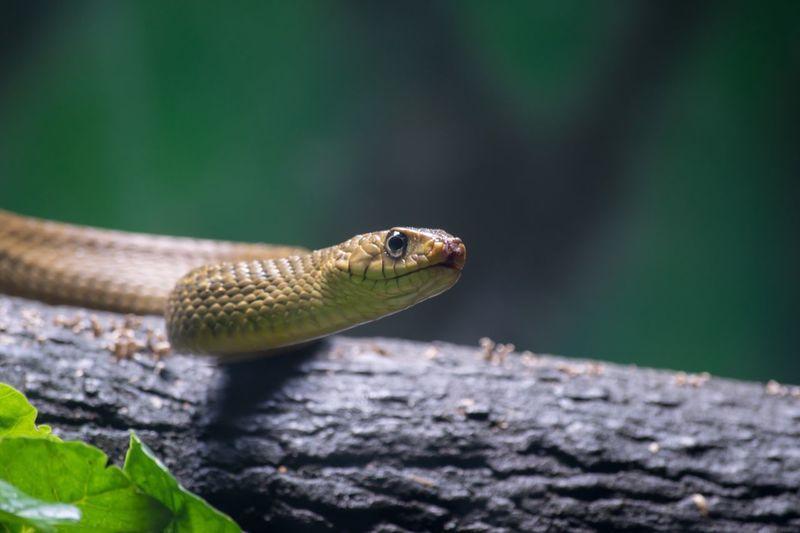 Indian rat snake.!! Snake SnakeEyes