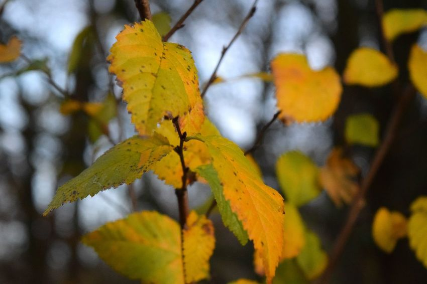 Leaf Autumn Yellow Growth Beauty In Nature Tranquil Scene Good Bye Autumn Scenics Showcase November Evening Light Herrenkrugpark A Walk In The Park Autumn 2016 November2016 It Is Cold Outside Autumn🍁🍁🍁 The Places ı've Been Today Outdoors Beauty In Nature Cold Temperature Tree Bokeh