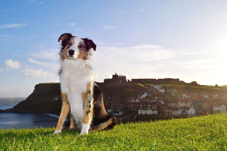 Early morning walk in Whitby and a stunning morning it is Dog Pets Animal Outdoors Grass Sky Mammal One Animal Day Portrait Nature No People Whitby Abbey Whitby Harbour Early Mornings Animal Themes