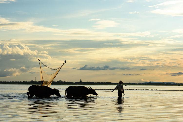 Man walks with his buffalo in front of fishing net on lake in Mandalay, Burma, Myanmar Afternoon ASIA Buffalo Burma Clouds Culture Fisherman Fishing Net Horizon Lake Man Mandalay Myanmar Sunset Tradition U Bein Water Buffalo