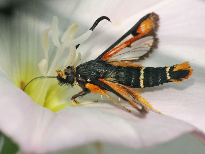 Pyropteron Chrysidiforme - Serchio River Animal Themes Animal Wildlife Animals In The Wild Arthropoda Beauty In Nature Butterflies And Moths Close-up Fiery Clearwing Flower Flower Head Fragility Freshness Hexapoda Insect Insect Close-up Insect Macro  Insecta Lepidoptera Moth Moth On Flower Nature Pyropteron Pyropteron Chrysidiforme Sesiidae