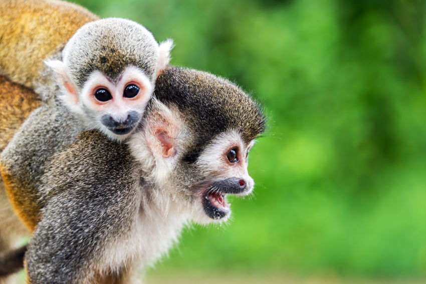 Two squirrel monkeys, a mother and her child in the Amazon rainforest near Leticia, Colombia Amazon Amazonas Animal Animals Baby Brazil Colombia Common Cute Forest Jungle Leticia Little Mammal Monkey Monkeys Nature Peru Primate Rainforest Saïmiri South America Squirrel Squirrel Monkey Wildlife