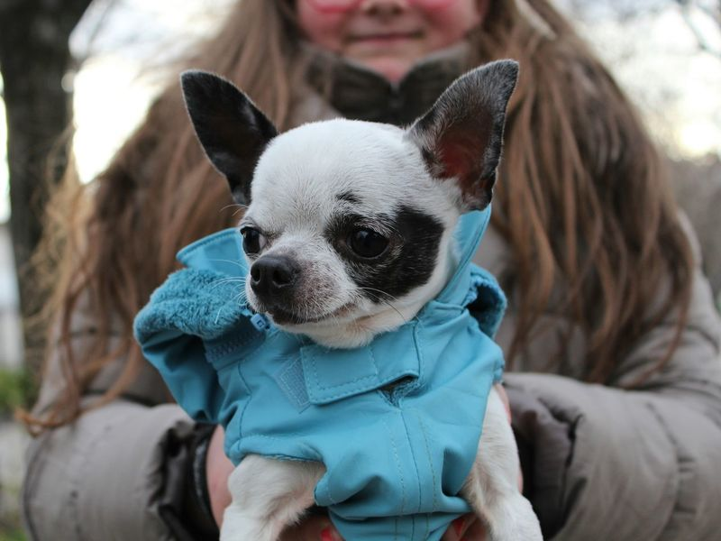 Colors Of Carnival Chihuahua Puppy Dog Love Small Dogs  Children Photography Showcase: February The Week On Eyem Welcome Weekly Learn & Shoot: Balancing Elements Always Be Cozy