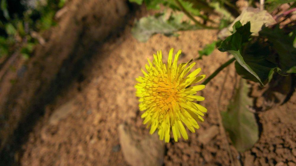 タンポポ Flower Collection Flower Shot Flower Photography Flower & Butterfly