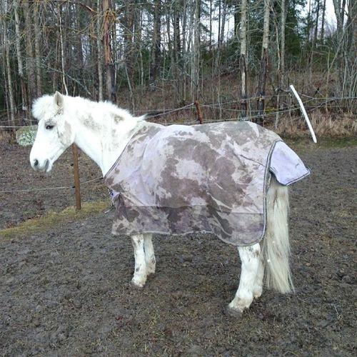 Monte jobbar på sitt kamouflage.. Svenskponnysport B -ponny