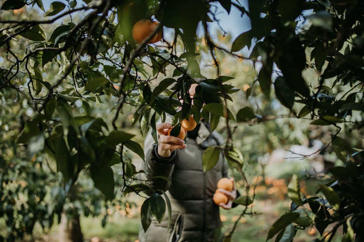 Man harvesting oranges on trees