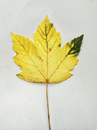 Leaf Dry Maple Leaf Maple Close-up Nature Outdoors Plant Yellow Beauty In Nature Fragility
