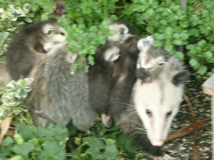 mother opossum in garden with babies on back Mammals That Care Mother North America Wildlife Photography Animal Themes Animal Wildlife Animals In The Wild Carrying On Back Close-up Day Domestic Animals Garden Photography Grass Growth Mammal Mammals Motion Nature No People Outdoors Plant Togetherness Two Animals Wildlife Young Animal
