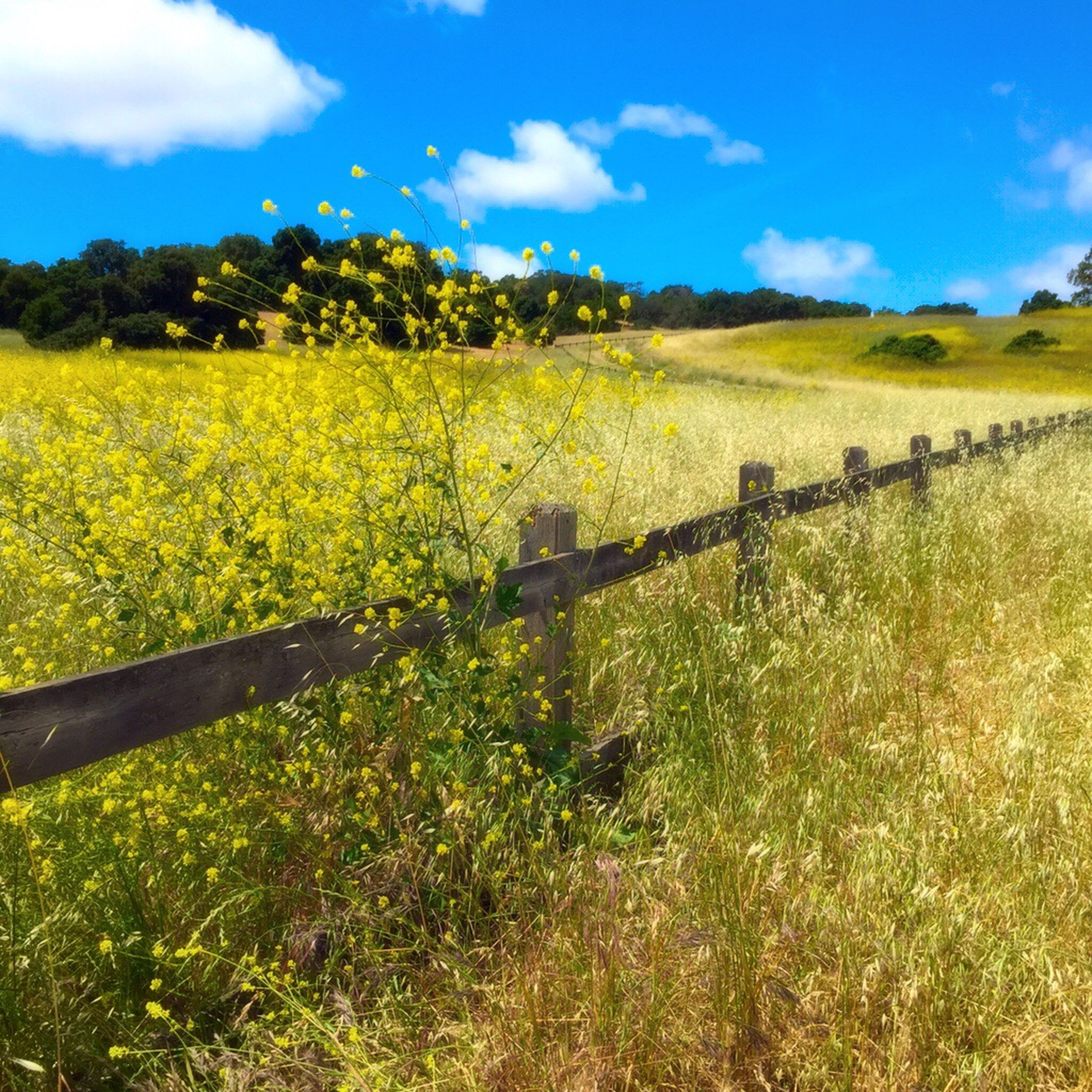 field, growth, sky, landscape, beauty in nature, tranquility, flower, tranquil scene, nature, grass, rural scene, plant, scenics, agriculture, green color, fence, grassy, yellow, cloud - sky, farm